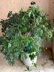 Approx. 3' Ficus plant-it's real!!